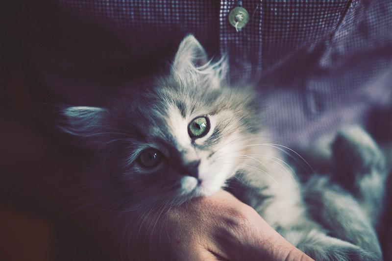 Havana The Siberian Kitten Miss Gen Photography London